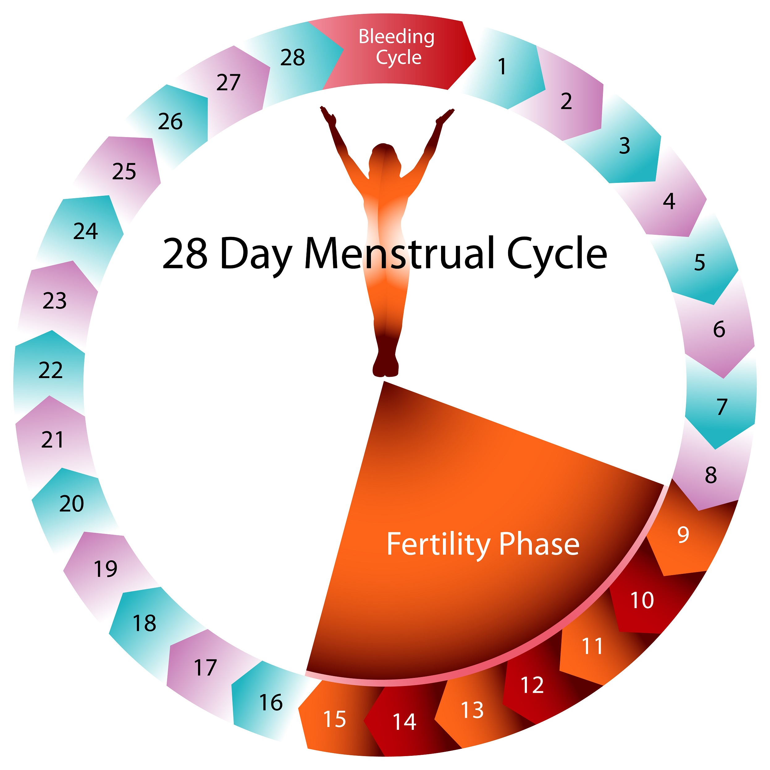 Ovulation medical basics explained